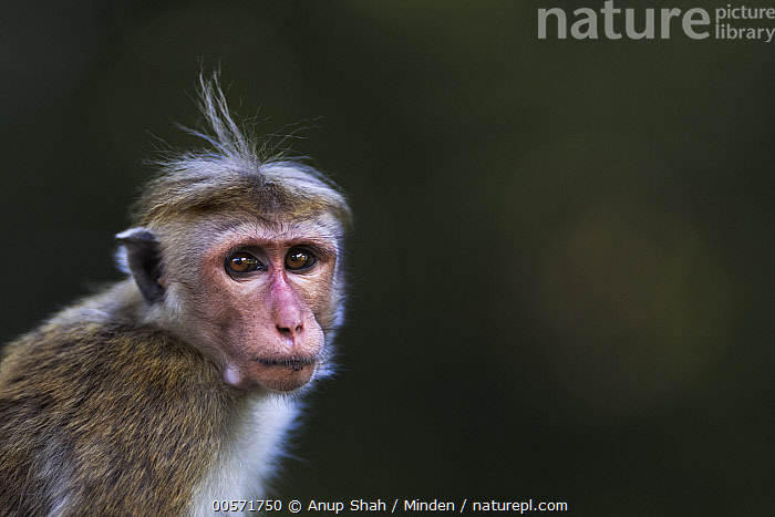 Toque Macaque (Macaca sinica) juvenile, Polonnaruwa, Sri Lanka  ,  Color Image, Day, Endangered Species, Head and Shoulders, Horizontal, Juvenile, Looking at Camera, Macaca sinica, Nobody, One Animal, Outdoors, Photography, Polonnaruwa, Portrait, Side View, Sri Lanka, Toque Macaque, Wildlife,Toque Macaque,Sri Lanka  ,  Anup Shah