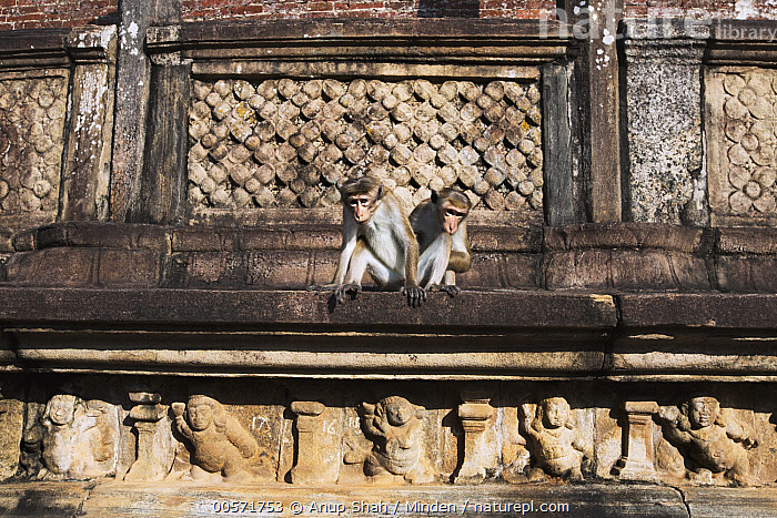 Toque Macaque (Macaca sinica) pair on ancient ruins, Polonnaruwa, Sri Lanka  ,  Adult, Ancient, Color Image, Day, Endangered Species, Front View, Full Length, Horizontal, Macaca sinica, Nobody, Outdoors, Photography, Polonnaruwa, Ruin, Sri Lanka, Toque Macaque, Two Animals, Wildlife,Toque Macaque,Sri Lanka  ,  Anup Shah