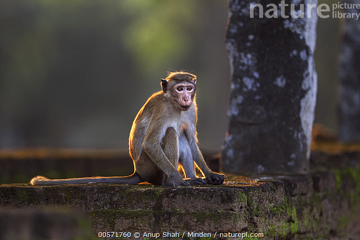 Toque Macaque (Macaca sinica) male on ancient ruins, Polonnaruwa, Sri Lanka  ,  Adult, Ancient, Color Image, Day, Endangered Species, Full Length, Horizontal, Macaca sinica, Male, Nobody, One Animal, Outdoors, Photography, Polonnaruwa, Ruin, Side View, Sri Lanka, Toque Macaque, Wildlife,Toque Macaque,Sri Lanka  ,  Anup Shah