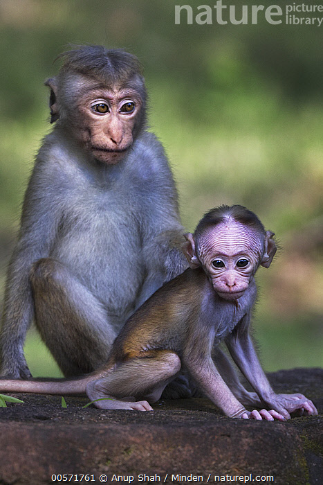Toque Macaque (Macaca sinica) juvenile and young, Polonnaruwa, Sri Lanka  ,  Baby, Color Image, Day, Endangered Species, Front View, Juvenile, Macaca sinica, Nobody, Outdoors, Photography, Polonnaruwa, Side View, Sri Lanka, Three Quarter Length, Toque Macaque, Two Animals, Vertical, Wildlife, Young,Toque Macaque,Sri Lanka  ,  Anup Shah