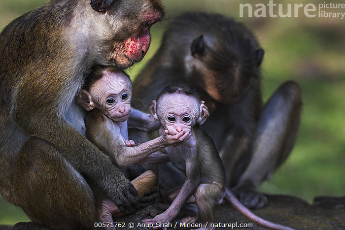 Toque Macaque (Macaca sinica) mothers and newborns, Polonnaruwa, Sri Lanka  ,  Adult, Baby, Color Image, Day, Endangered Species, Female, Four Animals, Front View, Horizontal, Looking at Camera, Macaca sinica, Mother, Newborn, Nobody, Outdoors, Parent, Photography, Polonnaruwa, Side View, Sri Lanka, Three Quarter Length, Toque Macaque, Wildlife, Young,Toque Macaque,Sri Lanka  ,  Anup Shah