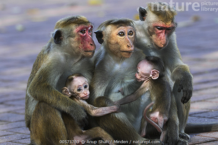 Toque Macaque (Macaca sinica) mothers and newborns, Polonnaruwa, Sri Lanka  ,  Adult, Baby, Color Image, Day, Endangered Species, Female, Five Animals, Holding, Horizontal, Macaca sinica, Mother, Newborn, Nobody, Outdoors, Parent, Photography, Polonnaruwa, Side View, Sri Lanka, Three Quarter Length, Toque Macaque, Wildlife, Young,Toque Macaque,Sri Lanka  ,  Anup Shah