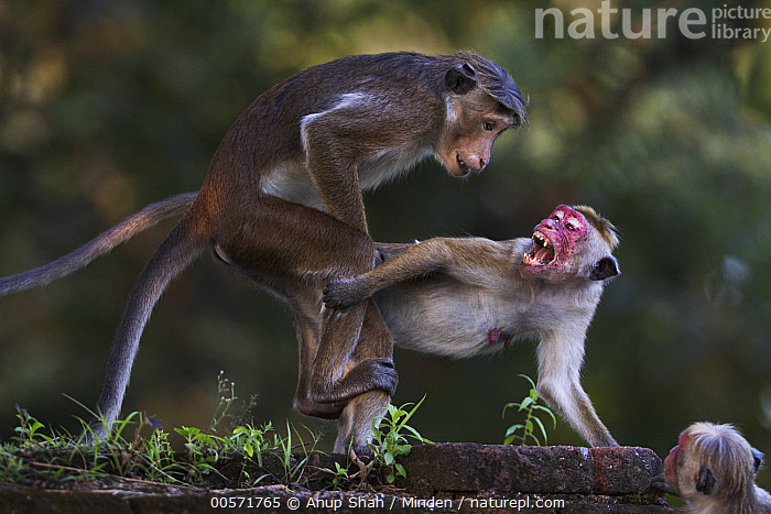 Toque Macaque (Macaca sinica) pair mating, Polonnaruwa, Sri Lanka  ,  Adult, Color Image, Day, Endangered Species, Female, Full Length, Horizontal, Macaca sinica, Male, Mating, Nobody, Outdoors, Photography, Polonnaruwa, Side View, Sri Lanka, Three Animals, Toque Macaque, Wildlife,Toque Macaque,Sri Lanka  ,  Anup Shah