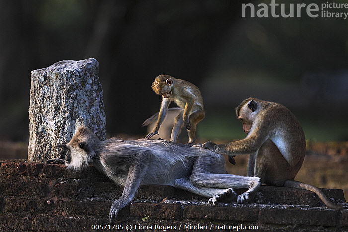 Toque Macaque (Macaca sinica) pair grooming Tufted Grey Langur (Semnopithecus priam), Polonnaruwa, Sri Lanka  ,  Adult, Bonding, Color Image, Day, Difference, Endangered Species, Full Length, Grooming, Horizontal, Humor, Macaca sinica, Mixed, Nobody, Outdoors, Photography, Polonnaruwa, Semnopithecus priam, Side View, Sri Lanka, Three Animals, Toque Macaque, Tufted Grey Langur, Wildlife,Toque Macaque,Tufted Grey Langur,Semnopithecus priam,Sri Lanka  ,  Fiona Rogers