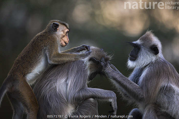 Toque Macaque (Macaca sinica) grooming Tufted Grey Langur (Semnopithecus priam), Polonnaruwa, Sri Lanka  ,  Adult, Bonding, Color Image, Day, Difference, Endangered Species, Grooming, Horizontal, Macaca sinica, Mixed, Nobody, Outdoors, Photography, Polonnaruwa, Semnopithecus priam, Side View, Sri Lanka, Three Animals, Three Quarter Length, Toque Macaque, Tufted Grey Langur, Wildlife,Toque Macaque,Tufted Grey Langur,Semnopithecus priam,Sri Lanka  ,  Fiona Rogers