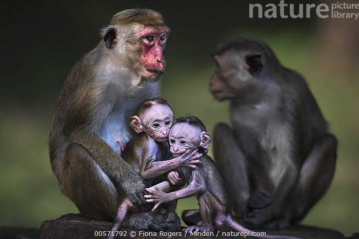 Toque Macaque (Macaca sinica) mothers and newborns, Polonnaruwa, Sri Lanka  ,  Adult, Baby, Color Image, Day, Endangered Species, Female, Four Animals, Front View, Horizontal, Macaca sinica, Mother, Newborn, Nobody, Outdoors, Parent, Photography, Polonnaruwa, Side View, Sri Lanka, Three Quarter Length, Toque Macaque, Wildlife, Young,Toque Macaque,Sri Lanka  ,  Fiona Rogers