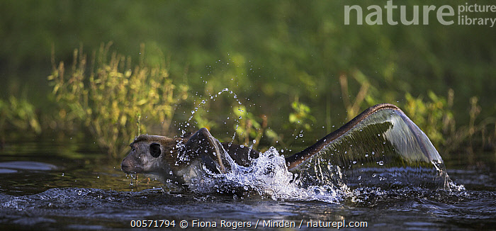 Toque Macaque (Macaca sinica) running in water, Polonnaruwa, Sri Lanka  ,  Adult, Color Image, Day, Endangered Species, Full Length, Horizontal, Macaca sinica, Nobody, One Animal, Outdoors, Panoramic, Photography, Polonnaruwa, Running, Side View, Splashing, Sri Lanka, Toque Macaque, Wildlife,Toque Macaque,Sri Lanka  ,  Fiona Rogers