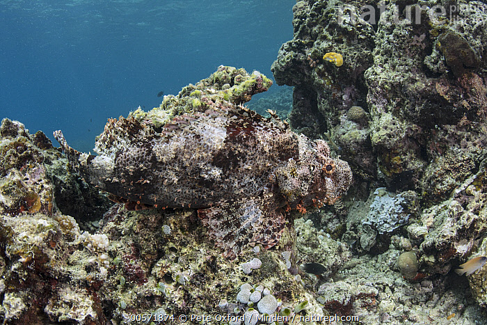 Papuan Scorpionfish (Scorpaenopsis papuensis) camouflaged in reef, Lesser Sunda Islands, Indonesia  ,  Adult, Camouflage, Color Image, Day, Full Length, Horizontal, Indonesia, Lesser Sunda Islands, Nobody, One Animal, Outdoors, Papuan Scorpionfish, Photography, Reef, Scorpaenopsis papuensis, Side View, Underwater, Wildlife,Papuan Scorpionfish,Indonesia  ,  Pete Oxford