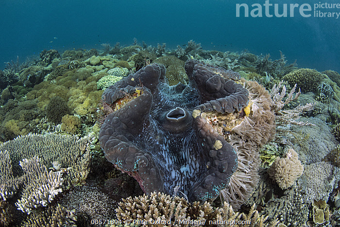 Giant Clam (Tridacna gigas) in coral reef, Banda Sea, Indonesia  ,  Adult, Animal in Habitat, Banda Sea, Color Image, Coral Reef, Day, Full Length, Giant Clam, Horizontal, Indonesia, Mantle, Nobody, One Animal, Outdoors, Photography, Side View, Siphon, Threatened Species, Tridacna gigas, Underwater, Vulnerable Species, Wildlife,Giant Clam,Indonesia  ,  Pete Oxford