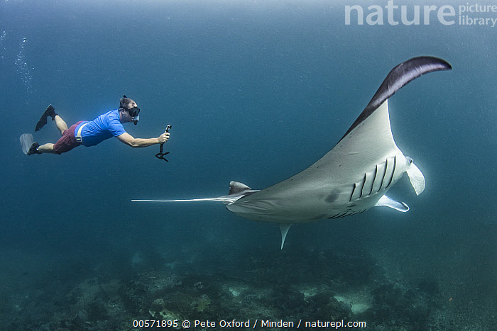 Manta Ray (Manta birostris) and snorkeler, Lesser Sunda Islands, Indonesia  ,  Adult, Color Image, Comparison, Day, Ecotourism, Full Length, Horizontal, Indonesia, Large, Lesser Sunda Islands, Manta Ray, Manta birostris, One Animal, One Person, Outdoors, Photography, Side View, Snorkeler, Tourism, Tourist, Underwater, Wildlife,Manta Ray,Indonesia  ,  Pete Oxford
