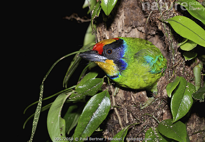 Golden-throated Barbet (Megalaima franklinii) in nest cavity, Bach Ma National Park, Vietnam  ,  Adult, Bach Ma National Park, Color Image, Day, Golden-throated Barbet, Horizontal, Megalaima franklinii, Nest Cavity, Nobody, One Animal, Outdoors, Photography, Side View, Three Quarter Length, Vietnam, Wildlife,Golden-throated Barbet,Vietnam  ,  Paul Bertner