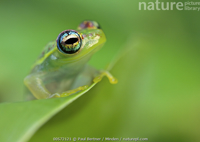 Mantellid Frog (Boophis sp), Antananarivo, Madagascar  ,  Adult, Antananarivo, Boophis sp, Color Image, Day, Horizontal, Madagascar, Mantellid Frog, Moody, Nobody, One Animal, Outdoors, Photography, Side View, Waist Up, Wildlife,Mantellid Frog,Madagascar  ,  Paul Bertner