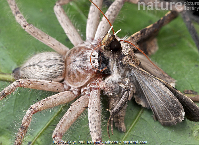 Giant Crab Spider (Sparassidae) with moth prey, Udzungwa Mountains National Park, Tanzania  ,  Adult, Color Image, Day, Giant Crab Spider, High Angle View, Horizontal, Moth, Nobody, One Animal, Outdoors, Photography, Predator, Prey, Side View, Sparassidae, Tanzania, Three Quarter Length, Udzungwa Mountains National Park, Wildlife,Giant Crab Spider,Tanzania  ,  Paul Bertner