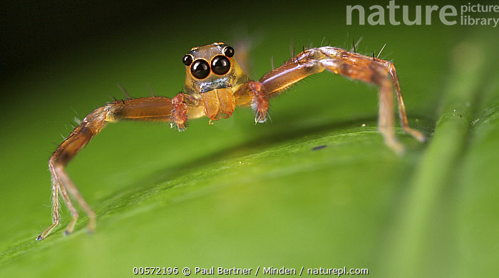 Jumping Spider (Siler sp), Marojejy National Park, Madagascar  ,  Adult, Color Image, Day, Front View, Full Length, Horizontal, Jumping Spider, Looking at Camera, Madagascar, Marojejy National Park, Nobody, One Animal, Outdoors, Panoramic, Photography, Siler sp, Wildlife,Jumping Spider,Madagascar  ,  Paul Bertner