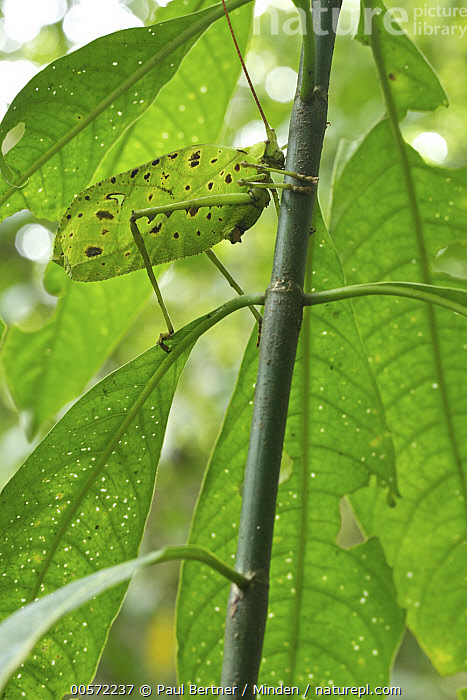 Katydid (Tettigoniidae) camouglaged against leaves, Costa Rica  ,  Adult, Camouflage, Color Image, Costa Rica, Day, Fortuna Forest Reserve, Full Length, Low Angle View, Mimic, Nobody, One Animal, Outdoors, Photography, Side View, Vertical, Wildlife,Katydid,Costa Rica  ,  Paul Bertner