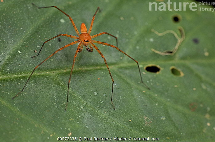 Giant Crab Spider (Sparassidae) juvenile, Leticia, Amazon, Colombia  ,  Amazon, Color Image, Colombia, Day, Front View, Full Length, Giant Crab Spider, Horizontal, Juvenile, Leticia, Nobody, One Animal, Orange, Outdoors, Photography, Sparassidae, Wildlife,Giant Crab Spider,Colombia  ,  Paul Bertner
