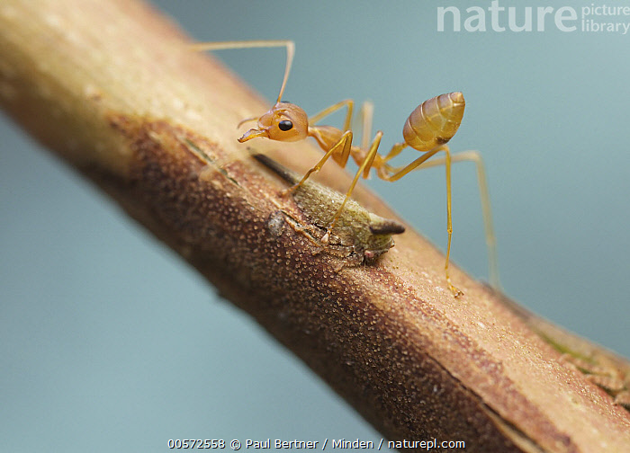 Green Tree Ant (Oecophylla smaragdina) guarding treehopper, Angkor Wat, Cambodia  ,  Adult, Angkor Wat, Cambodia, Color Image, Day, Full Length, Green Tree Ant, Guarding, Horizontal, Mutualism, Nobody, Oecophylla smaragdina, Outdoors, Photography, Protecting, Side View, Symbiosis, Treehopper, Two Animals, Wildlife,Green Tree Ant,Cambodia  ,  Paul Bertner
