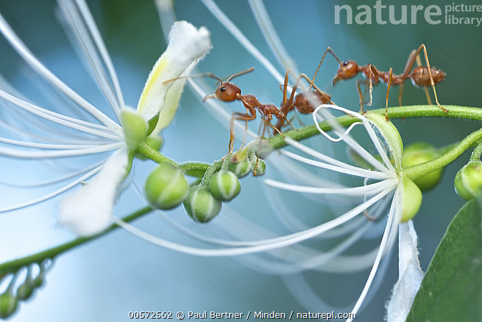 Green Tree Ant (Oecophylla smaragdina) pair on flowering plant, Angkor Wat, Cambodia  ,  Adult, Angkor Wat, Cambodia, Color Image, Day, Full Length, Green Tree Ant, Horizontal, Nobody, Oecophylla smaragdina, Outdoors, Photography, Side View, Two Animals, Wildlife,Green Tree Ant,Cambodia  ,  Paul Bertner