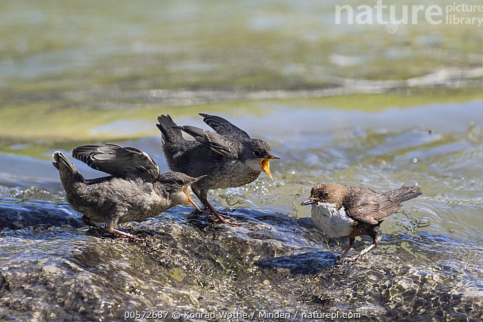 White-throated Dipper (Cinclus cinclus) parent with begging fledglings, Alps, Bavaria, Germany  ,  Adult, Alps, Bavaria, Begging, Cinclus cinclus, Color Image, Day, Fledgling, Full Length, Germany, Horizontal, Nobody, Open Mouth, Outdoors, Parent, Photography, Side View, Songbird, Three Animals, White-throated Dipper, Wildlife,White-throated Dipper,Germany  ,  Konrad Wothe