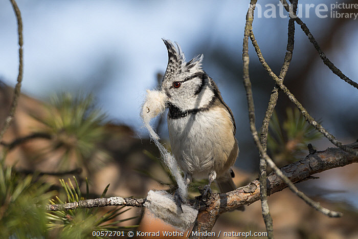 Crested Tit (Lophophanes cristatus) carrying nesting material, Bavaria, Germany  ,  Adult, Bavaria, Carrying, Color Image, Crested Tit, Day, Front View, Full Length, Germany, Horizontal, Lophophanes cristatus, Nesting, Nobody, One Animal, Outdoors, Photography, Wildlife,Crested Tit,Germany  ,  Konrad Wothe