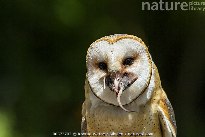 Barn Owl (Tyto alba) swallowing mouse prey, native worldwide  ,  Adult, Barn Owl, Captive, Color Image, Day, Feeding, Front View, Horizontal, Looking at Camera, Mouse, Nobody, One Animal, Outdoors, Photography, Predator, Prey, Raptor, Swallowing, Tyto alba, Waist Up, Wildlife,Barn Owl  ,  Konrad Wothe