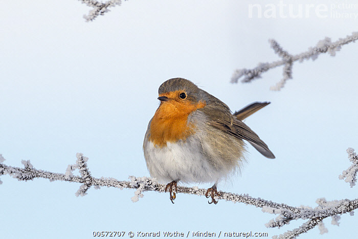 European Robin (Erithacus rubecula) in winter, Bavaria, Germany  ,  Adult, Bavaria, Color Image, Day, Erithacus rubecula, European Robin, Full Length, Germany, Horizontal, Nobody, One Animal, Outdoors, Photography, Side View, Songbird, Wildlife, Winter,European Robin,Germany  ,  Konrad Wothe