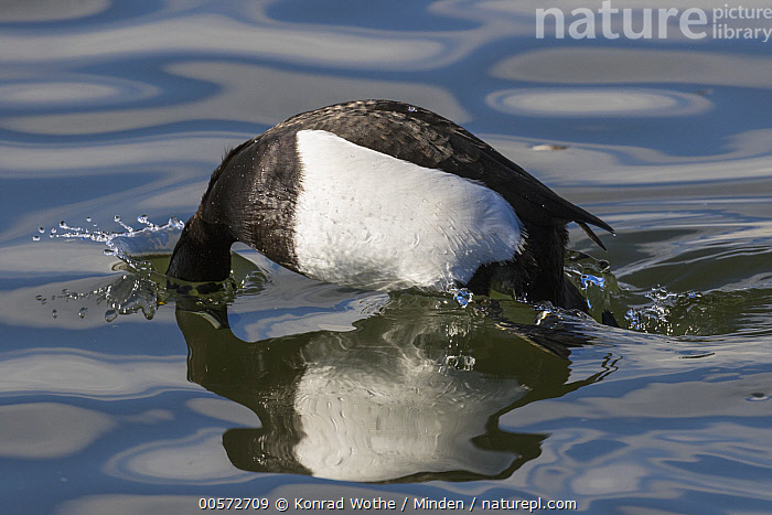 Tufted Duck (Aythya fuligula) diving, Germany  ,  Adult, Aythya fuligula, Color Image, Day, Diving, Full Length, Germany, Horizontal, Nobody, One Animal, Outdoors, Photography, Reflection, Side View, Surface, Tufted Duck, Waterfowl, Wildlife,Tufted Duck,Germany  ,  Konrad Wothe