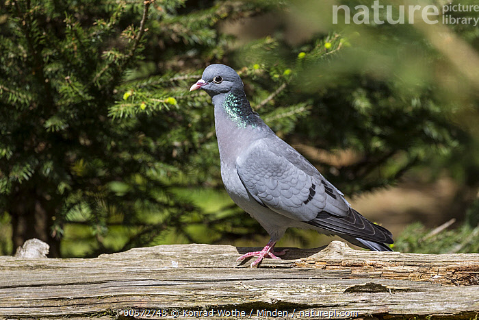 Stock Dove (Columba oenas), native to Europe  ,  Adult, Captive, Color Image, Columba oenas, Day, Full Length, Horizontal, Nobody, One Animal, Outdoors, Photography, Side View, Stock Dove, Wildlife,Stock Dove  ,  Konrad Wothe