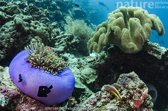 Pink Anemonefish (Amphiprion perideraion) and Magnificent Sea Anemone (Heteractis magnifica) in coral reef, Raja Ampat Islands, Indonesia  ,  Adult, Amphiprion perideraion, Animal in Habitat, Color Image, Coral Reef, Day, Full Length, Heteractis magnifica, Horizontal, Indonesia, Large Group of Animals, Magnificent Sea Anemone, Mutualism, Nobody, Outdoors, Photography, Pink Anemonefish, Purple, Raja Ampat Islands, Side View, Symbiosis, Underwater, Wildlife,Pink Anemonefish,Magnificent Sea Anemone,Heteractis magnifica,Indonesia  ,  Pete Oxford