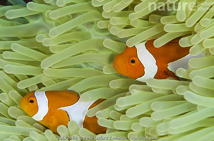 Clown Anemonefish (Amphiprion ocellaris) pair in Magnificent Sea Anemone (Heteractis magnifica) tentacles, Banda Sea, Indonesia  ,  Adult, Amphiprion ocellaris, Banda Sea, Clown Anemonefish, Color Image, Day, Full Frame, Full Length, Heteractis magnifica, Horizontal, Indonesia, Magnificent Sea Anemone, Mutualism, Nobody, Orange, Outdoors, Photography, Side View, Symbiosis, Tentacle, Three Animals, Underwater, Wildlife,Clown Anemonefish,Magnificent Sea Anemone,Heteractis magnifica,Indonesia  ,  Pete Oxford
