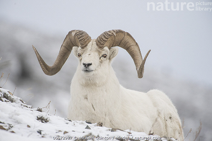 Dall's Sheep (Ovis dalli) ram in winter, Yukon Territory, Canada  ,  Adult, Camouflage, Canada, Color Image, Dall's Sheep, Day, Full Length, Horizontal, Looking at Camera, Male, Nobody, One Animal, Outdoors, Ovis dalli, Photography, Ram, Side View, Snow, White, Wildlife, Winter, Yukon Territory,Dall's Sheep,Canada  ,  Michael Quinton