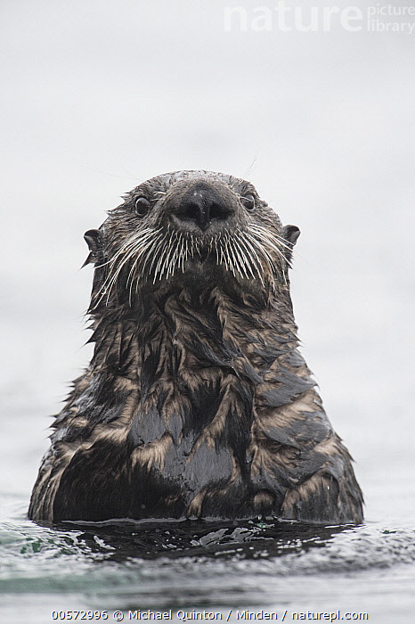Sea Otter (Enhydra lutris), Alaska  ,  Adult, Alaska, Color Image, Day, Endangered Species, Enhydra lutris, Front View, Head and Shoulders, Looking at Camera, Marine Mammal, Nobody, One Animal, Outdoors, Photography, Portrait, Sea Otter, Vertical, Wildlife,Sea Otter,Alaska, USA  ,  Michael Quinton