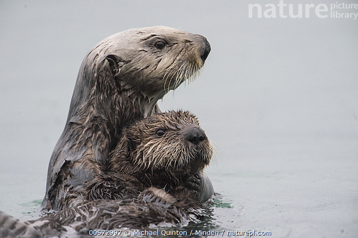 Sea Otter (Enhydra lutris) mother securing pup while looking for danger, Alaska  ,  Adult, Alaska, Alert, Baby, Color Image, Day, Endangered Species, Enhydra lutris, Female, Grabbing, Horizontal, Hugging, Looking, Marine Mammal, Mother, Nobody, Outdoors, Parent, Photography, Pup, Sea Otter, Side View, Two Animals, Waist Up, Wildlife, Young,Sea Otter,Alaska, USA  ,  Michael Quinton