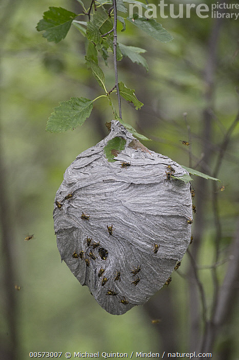 Wasp (Vespula sp) nest, Alaska  ,  Adult, Alaska, Color Image, Day, Full Length, Large Group of Animals, Nest, Nobody, Outdoors, Photography, Side View, Top View, Vespula sp, Vertical, Wasp, Wildlife,Wasp,Alaska, USA  ,  Michael Quinton