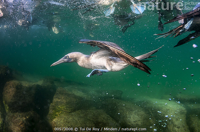 Blue-footed Booby (Sula nebouxii) fishing underwater, Itabaca Channel, Santa Cruz Island, Galapagos Islands, Ecuador  ,  Adult, Blue-footed Booby, Color Image, Day, Diving, Ecuador, Fishing, Full Length, Galapagos Islands, Horizontal, Hunting, Itabaca Channel, Medium Group of Animals, Nobody, Outdoors, Photography, Santa Cruz Island, Seabird, Side View, Sula nebouxii, Underwater, Wildlife,Blue-footed Booby,Ecuador  ,  Tui De Roy