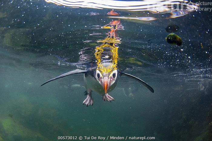 Royal Penguin (Eudyptes schlegeli) floating at surface, Macquarie Island, Australia  ,  Adult, Australia, Color Image, Curiosity, Curious, Day, Eudyptes schlegeli, Floating, Front View, Full Length, Horizontal, Looking at Camera, Macquarie Island, Nobody, One Animal, Outdoors, Photography, Royal Penguin, Seabird, Surface, Threatened Species, Underwater, Vulnerable Species, Wildlife,Royal Penguin,Australia  ,  Tui De Roy