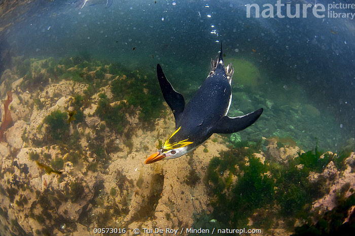 Royal Penguin (Eudyptes schlegeli) swimming, Macquarie Island, Australia  ,  Adult, Australia, Color Image, Day, Eudyptes schlegeli, Front View, Full Length, High Angle View, Horizontal, Macquarie Island, Nobody, One Animal, Outdoors, Photography, Royal Penguin, Seabird, Shallow Water, Swimming, Threatened Species, Underwater, Vulnerable Species, Wildlife,Royal Penguin,Australia,Adult, Australia, Color Image, Day, Eudyptes schlegeli, Front View, Full Length, High Angle View, Horizontal, Macquarie Island, Nobody, One Animal, Outdoors, Photography, Royal Penguin, Seabird, Shallow Water, Swimming, Threatened Species, Underwater, Vulnerable Species, Wildlife  ,  Tui De Roy