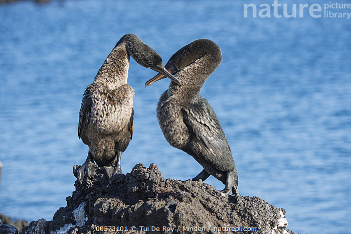 Flightless Cormorant (Phalacrocorax harrisi) pair courting, Puerto Pajas, Isabela Island, Galapagos Islands, Ecuador  ,  Adult, Billing, Color Image, Courting, Day, Ecuador, Endangered Species, Endemic, Female, Flightless Cormorant, Front View, Full Length, Galapagos Islands, Horizontal, Isabela Island, Male, Nobody, Outdoors, Phalacrocorax harrisi, Photography, Puerto Pajas, Seabird, Side View, Two Animals, Wildlife,Flightless Cormorant,Ecuador  ,  Tui De Roy