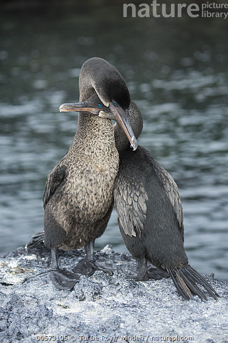 Flightless Cormorant (Phalacrocorax harrisi) pair courting, Puerto Pajas, Isabela Island, Galapagos Islands, Ecuador  ,  Adult, Billing, Color Image, Courting, Day, Ecuador, Endangered Species, Endemic, Female, Flightless Cormorant, Front View, Full Length, Galapagos Islands, Isabela Island, Male, Nobody, Outdoors, Phalacrocorax harrisi, Photography, Puerto Pajas, Rear View, Seabird, Two Animals, Vertical, Wildlife,Flightless Cormorant,Ecuador  ,  Tui De Roy