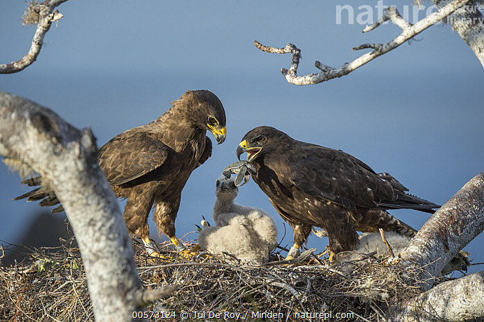 Galapagos Hawk (Buteo galapagoensis) parent feeding sea turtle hatchling to chicks in nest, Sullivan Bay, Santiago Island, Galapagos Islands, Ecuador  ,  Adult, Baby, Bringing Food, Buteo galapagoensis, Carrying, Carcass, Chick, Color Image, Day, Dead, Death, Ecuador, Endemic, Family, Father, Feeding, Female, Four Animals, Full Length, Galapagos Hawk, Galapagos Islands, Horizontal, Male, Mother, Nest, Nestling, Nobody, Outdoors, Parent, Parenting, Photography, Raptor, Santiago Island, Sea Turtle, Side View, Sullivan Bay, Threatened Species, Vulnerable Species, Wildlife,Galapagos Hawk,Ecuador  ,  Tui De Roy