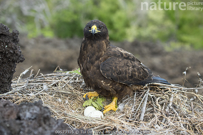 Galapagos Hawk (Buteo galapagoensis) on nest with eggs, Cape Hammond, Fernandina Island, Galapagos Islands, Ecuador  ,  Adult, Buteo galapagoensis, Cape Hammond, Color Image, Day, Ecuador, Egg, Endemic, Fernandina Island, Full Length, Galapagos Hawk, Galapagos Islands, High Angle View, Horizontal, Looking at Camera, Nest, Nobody, One Animal, Outdoors, Photography, Raptor, Side View, Threatened Species, Two Objects, Vulnerable Species, Wildlife,Galapagos Hawk,Ecuador  ,  Tui De Roy
