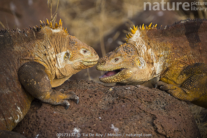 Galapagos Land Iguana (Conolophus subcristatus) pair facing off, Seymour Island, Galapagos Islands, Ecuador  ,  Adult, Color Image, Conolophus subcristatus, Day, Defensive Posture, Displaying, Ecuador, Endemic, Facing, Galapagos Islands, Galapagos Land Iguana, Horizontal, Nobody, Open Mouth, Outdoors, Photography, Seymour Island, Side View, Threatened Species, Two Animals, Vulnerable Species, Waist Up, Wildlife,Galapagos Land Iguana,Ecuador  ,  Tui De Roy