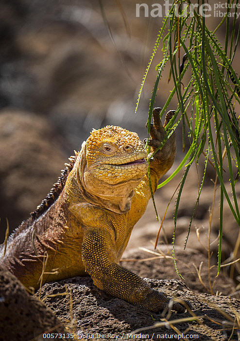 Galapagos Land Iguana (Conolophus subcristatus) browsing, Seymour Island, Galapagos Islands, Ecuador  ,  Adult, Browsing, Color Image, Conolophus subcristatus, Day, Ecuador, Endemic, Galapagos Islands, Galapagos Land Iguana, Nobody, One Animal, Outdoors, Photography, Seymour Island, Side View, Threatened Species, Vertical, Vulnerable Species, Waist Up, Wildlife,Galapagos Land Iguana,Ecuador  ,  Tui De Roy