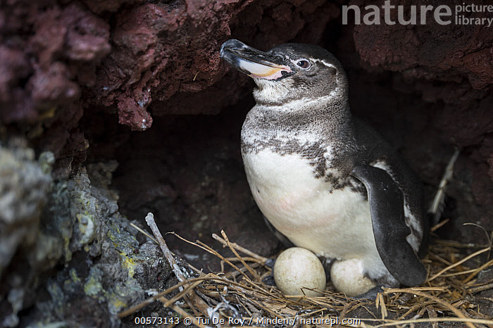 Galapagos Penguin (Spheniscus mendiculus) incubating eggs in nest, Elizabeth Bay, Isabela Island, Galapagos Islands, Ecuador  ,  Adult, Color Image, Day, Ecuador, Egg, Elizabeth Bay, Endangered Species, Endemic, Full Length, Galapagos Islands, Galapagos Penguin, Horizontal, Incubating, Isabela Island, Nest, Nobody, One Animal, Outdoors, Photography, Seabird, Side View, Spheniscus mendiculus, Two Objects, Wildlife,Galapagos Penguin,Ecuador  ,  Tui De Roy