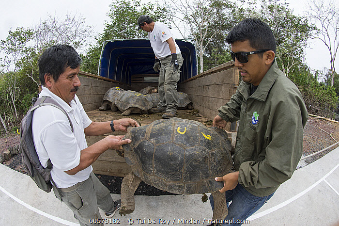 Pinzon Island Tortoise (Chelonoidis ephippium) group being transported from breeding center back to place of origin, Fausto Llerena Tortoise Center, Santa Cruz Island, Galapagos Islands, Ecuador  ,  Adult, Captive Breeding, Car, Carrying, Chelonoidis nigra ephippium, Color Image, Conservation, Day, Ecuador, Endemic, Fausto Llerena Tortoise Center, Full Length, Galapagos Islands, Horizontal, Male, Man, Medium Group of Animals, Mid Adult, Outdoors, Photography, Pinzon Island Tortoise, Releasing, Santa Cruz Island, Side View, Threatened Species, Three People, Transporting, Vulnerable Species, Wide-angle Lens, Wildlife,Pinzon Island Tortoise,Ecuador,Adult, Captive Breeding, Car, Carrying, Chelonoidis ephippium, Color Image, Conservation, Day, Ecuador, Endemic, Fausto Llerena Tortoise Center, Full Length, Galapagos Islands, Horizontal, Male, Man, Medium Group of Animals, Mid Adult, Outdoors, Photography, Pinzon Island Tortoise, Releasing, Santa Cruz Island, Side View, Threatened Species, Three People, Transporting, Vulnerable Species, Wide-angle Lens, Wildlife  ,  Tui De Roy