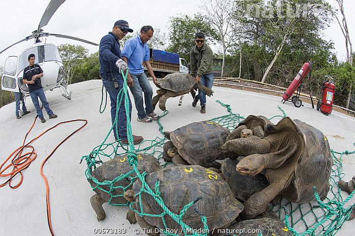 Pinzon Island Tortoise (Chelonoidis ephippium) group being transported from breeding center back to place of origin, Fausto Llerena Tortoise Center, Santa Cruz Island, Galapagos Islands, Ecuador  ,  Adult, Captive Breeding, Carrying, Chelonoidis nigra ephippium, Color Image, Conservation, Day, Ecuador, Endemic, Fausto Llerena Tortoise Center, Five People, Full Length, Galapagos Islands, Helicopter, Horizontal, Male, Man, Medium Group of Animals, Mid Adult, Net, Nobody, Outdoors, Photography, Pinzon Island Tortoise, Releasing, Santa Cruz Island, Side View, Threatened Species, Transporting, Vulnerable Species, Wide-angle Lens, Wildlife,Pinzon Island Tortoise,Ecuador,Adult, Captive Breeding, Carrying, Chelonoidis ephippium, Color Image, Conservation, Day, Ecuador, Endemic, Fausto Llerena Tortoise Center, Five People, Full Length, Galapagos Islands, Helicopter, Horizontal, Male, Man, Medium Group of Animals, Mid Adult, Net, Nobody, Outdoors, Photography, Pinzon Island Tortoise, Releasing, Santa Cruz Island, Side View, Threatened Species, Transporting, Vulnerable Species, Wide-angle Lens, Wildlife  ,  Tui De Roy