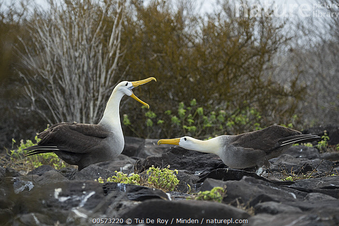 Waved Albatross (Phoebastria irrorata) pair courting, Punta Suarez, Espanola Island, Galapagos Islands, Ecuador, sequence 4 of 7  ,  Adult, Bill Clappering, Color Image, Courting, Critically Endangered Species, Dancing, Day, Displaying, Ecuador, Endangered Species, Endemic, Espanola Island, Female, Full Length, Galapagos Islands, Horizontal, Male, Nobody, Outdoors, Phoebastria irrorata, Photography, Punta Suarez, Seabird, Sequence, Side View, Two Animals, Waved Albatross, Wildlife,Waved Albatross,Ecuador  ,  Tui De Roy
