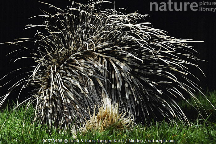 Crested Porcupine (Hystrix cristata) quills, native to Africa  ,  Adult, Captive, Color Image, Crested Porcupine, Day, Horizontal, Hystrix cristata, Nobody, One Animal, Outdoors, Photography, Quill, Rear View, Three Quarter Length, Wildlife,Crested Porcupine  ,  Heidi & Hans-Juergen Koch