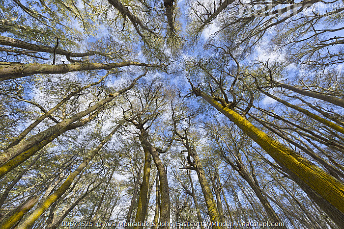 Beech (Fagus sp) trees, Patagonia, Argentina  ,  Argentina, Beech, Blue Sky, Color Image, Day, Fagus sp, Forest, Horizontal, Interior, Landscape, Low Angle View, Nobody, Outdoors, Overhead, Patagonia, Photography, Tree, Tree Trunk,Beech,Argentina  ,  Yva Momatiuk & John Eastcott