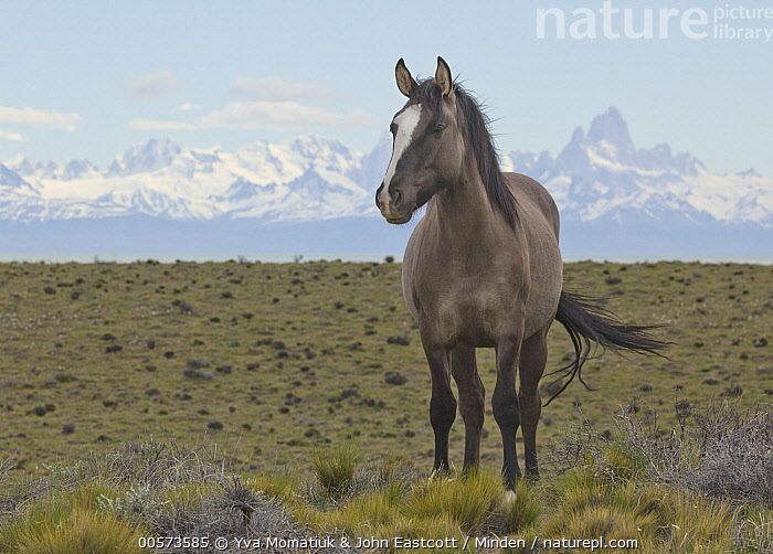 Domestic Horse (Equus caballus) in spring, Fitzroy Massif, Los Glaciares National Park, Patagonia, Argentina  ,  Adult, Argentina, Color Image, Day, Domestic Horse, Equus caballus, Fitzroy Massif, Front View, Full Length, Horizontal, Los Glaciares National Park, Nobody, One Animal, Outdoors, Patagonia, Photography, Spring,Domestic Horse,Argentina  ,  Yva Momatiuk & John Eastcott